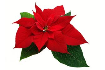 Youth Ministry Poinsettia Sale